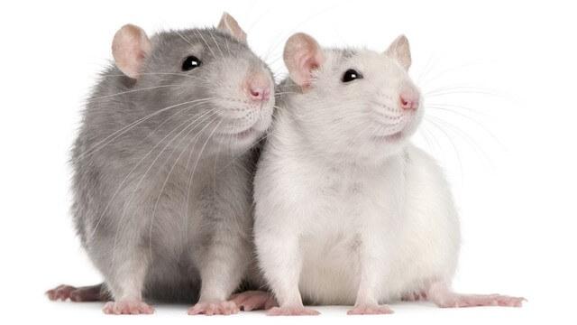 farelerde beyin hasarı