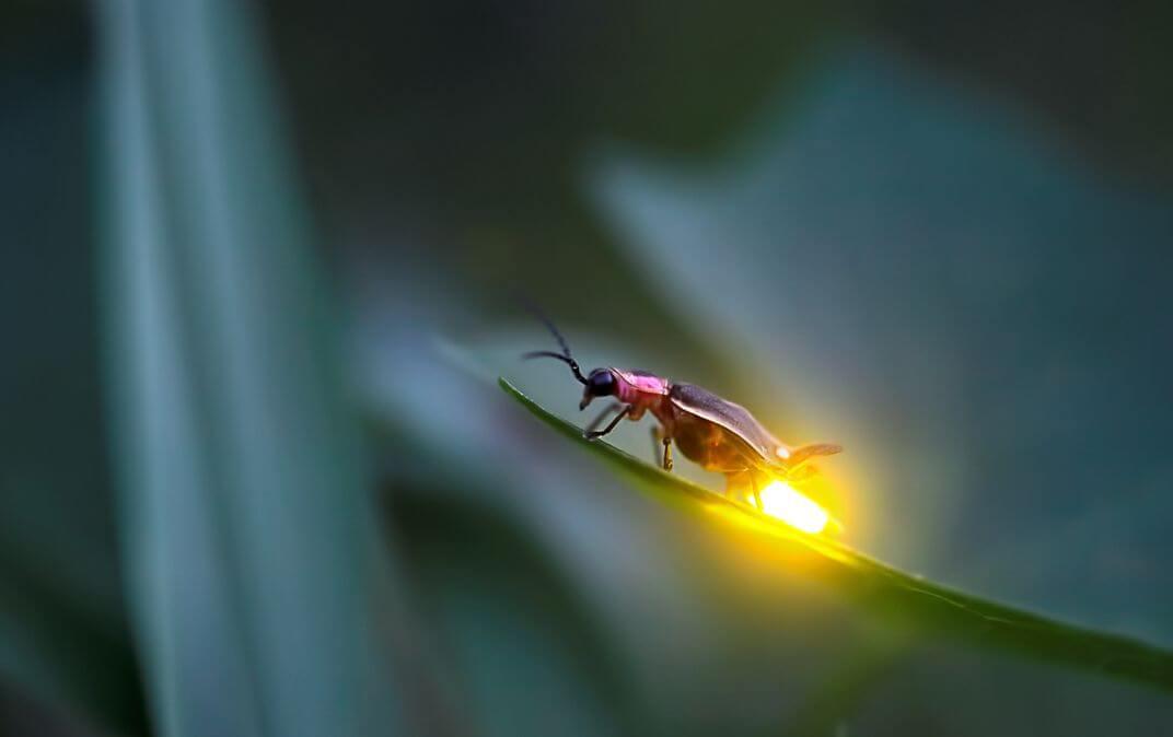 Işık üreten bitki